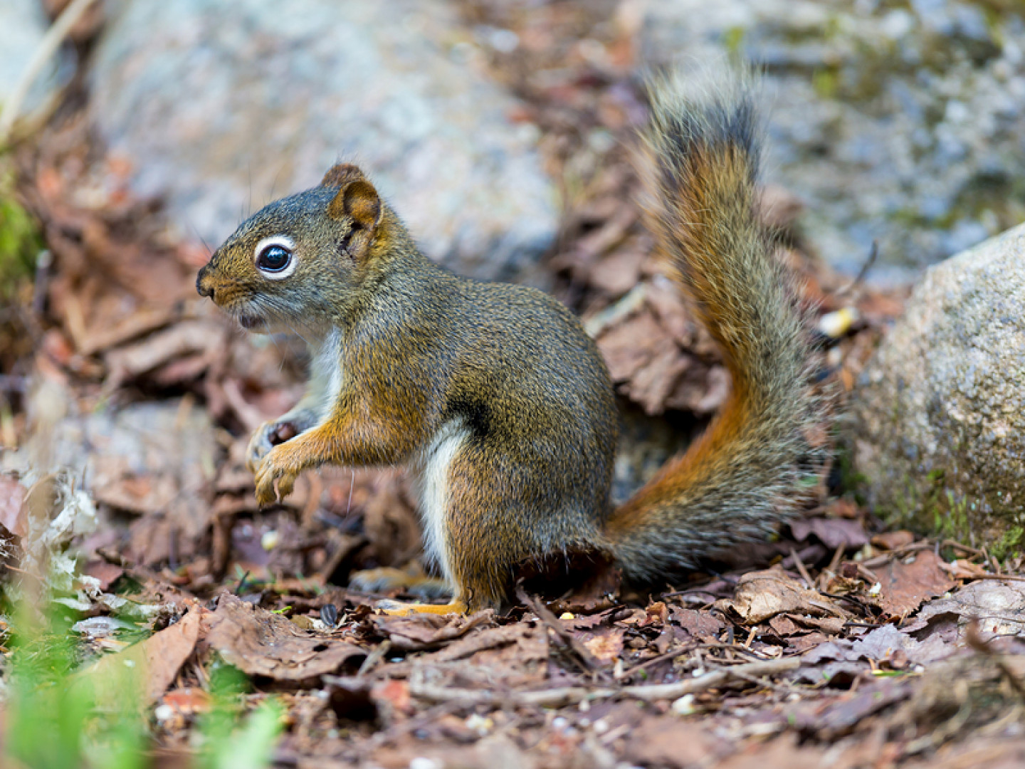 Squirrel removal in Philadelphia & Montgomery County, PA