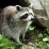 Image of: Trapped Choose Marks Wildlife Control To Make Your Home Raccoonimmune Dreamstimecom Raccoon Removal Philadelphia Pa Marks Wildlife Control