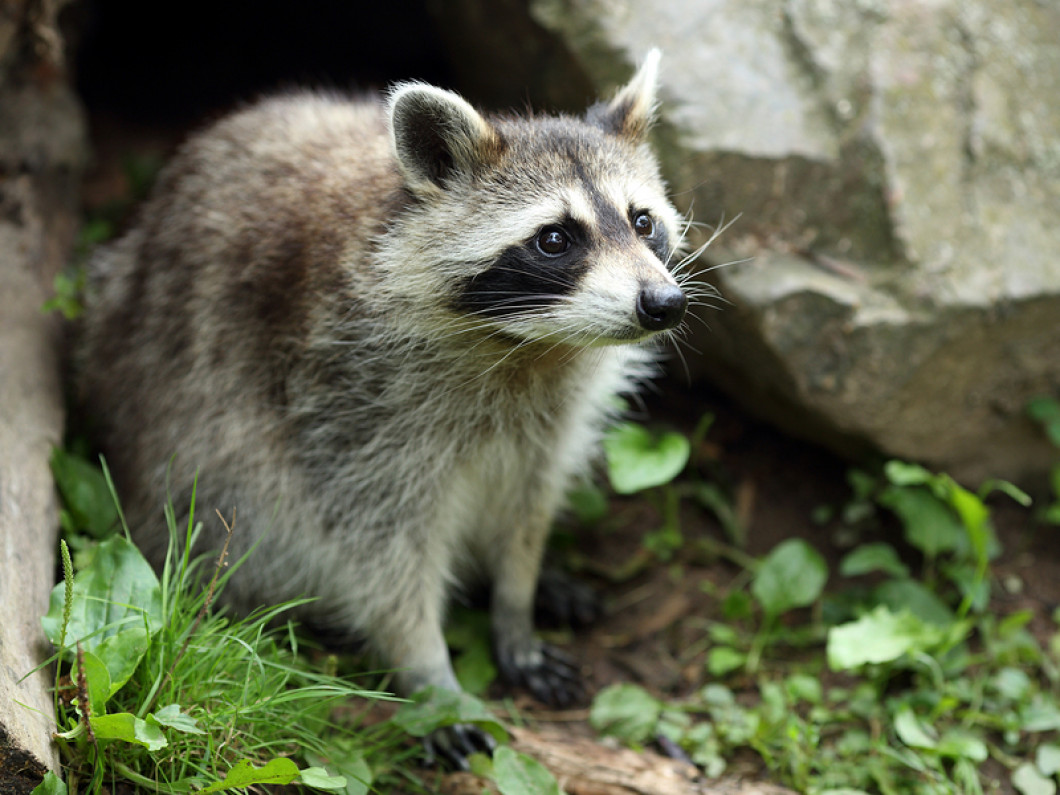 Choose Mark's Wildlife Control to make your home raccoon-immune